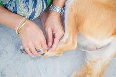 Fästing för loppa för handmanfynd på hundhudhåret fotografering för bildbyråer