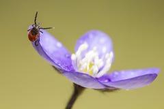 Fästingen för svängbart hjulböna (Ixodesricinusen) Royaltyfri Foto