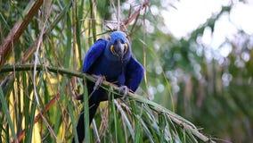 Få äter Hyacinth Macaws på en palmträd frukterna av olja gömma i handflatan Sällsynt sikt Högkvalitativ video Naturligt ljud _ Pa stock video