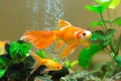Få guldfiskar Arkivfoto