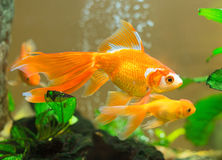 Få guldfiskar Arkivfoton