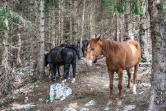 Få hästar i en skog Royaltyfri Bild