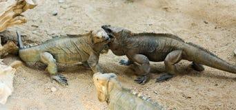 Få noshörningleguaner Arkivbilder