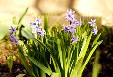 Få violetta hyacinter som blommar i trädgården Arkivfoto