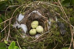 Fågelägg i ett rede arkivfoto