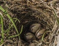 Fågelägg i litet rede på fält royaltyfri fotografi