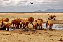 Fågel över elefanter Arkivfoton