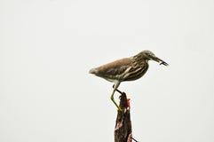 Fågel Ardeola Arkivbilder