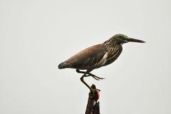 Fågel Ardeola Fotografering för Bildbyråer
