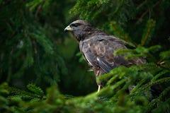 Fågel av den gemensamma vråket för rov, Buteobuteo som sitter på barrträds- prydlig trädfilial Fågel som döljas i trädet i den mö arkivbilder
