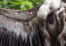 Fågel av den Griffon Vulture sidosikten Arkivfoton