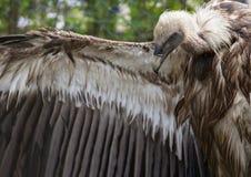 Fågel av den Griffon Vulture sidosikten Royaltyfri Bild