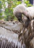 Fågel av den Griffon Vulture sidosikten Royaltyfria Foton