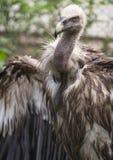 Fågel av den Griffon Vulture sidosikten Royaltyfri Foto