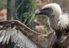 Fågel av den Griffon Vulture sidosikten Royaltyfria Bilder