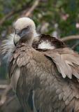 Fågel av den Griffon Vulture sidosikten Fotografering för Bildbyråer