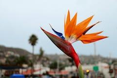 Fågel av den Paradise blomman på Laguna Beach, Kalifornien arkivbilder