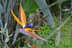 Fågel av den tropiska blomman för paradis royaltyfri bild
