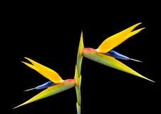 Fågel av paradisblomma 50 Royaltyfri Foto