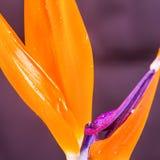 Fågel av paradisblomman Arkivfoto