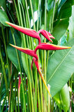 Fågel av paradisblomman Royaltyfri Bild