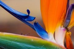 Fågel av paradisblomman Arkivfoton