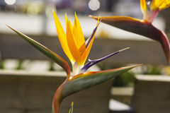 Fågel av paradisblomman Royaltyfria Bilder