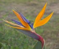 Fågel av paradisblomman Arkivbilder
