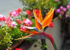 Fågel av paradiset Fotografering för Bildbyråer