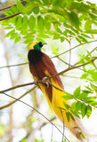 Fågel av paradiset på ett träd Royaltyfria Bilder