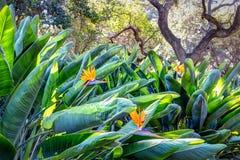 Fågel av paradisträdgården Fotografering för Bildbyråer