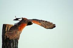 Fågel av rovet Arkivfoto
