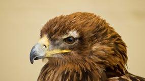 Fågel av rovet Arkivfoton