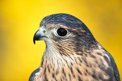 Fågel av rovet - amerikansk tornfalk Arkivfoto