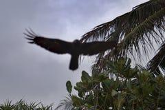 Fågel av rovet som flyger över en palmträd Royaltyfri Fotografi