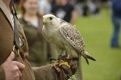 Fågel av rovet som ser trevlig Fotografering för Bildbyråer