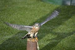 Fågel av rovet som ser trevlig Arkivfoto
