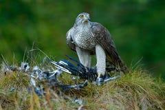 Fågel av skatan för Eurasian för rovGoshawkbyte på gräset i grön skog arkivfoton