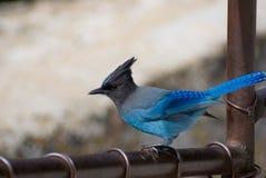 fågel blåa jay Fotografering för Bildbyråer