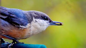 Fågel (Blått-grå färger Gnatcatcher) Arkivfoton