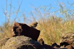 Fågel bland stenarna Royaltyfri Fotografi