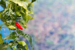 Fågel-chili och bakgrund Royaltyfri Foto
