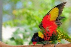 fågel dess lorikeet som visar vingar Royaltyfria Bilder
