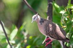 Fågel (duva, duva eller Disambiguation) i en natur royaltyfria foton