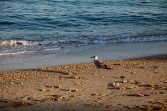 Fågel en Seagull på stranden Royaltyfria Foton