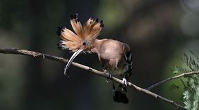 Fågel, EurasianHoopoe eller gemensamma HoopoeUpupaepops Royaltyfria Foton