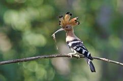 Fågel, EurasianHoopoe eller gemensamma HoopoeUpupaepops Royaltyfri Bild