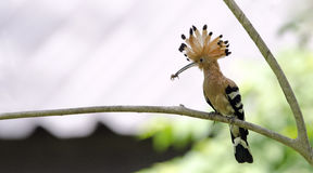 Fågel, EurasianHoopoe eller gemensamma HoopoeUpupaepops Arkivfoto