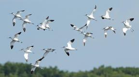 Fågel fågel av Thailand, Pied Avocet för flyttningsfåglar arkivfoto