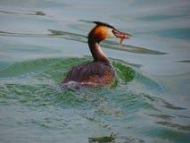 Fågel fångad fisk royaltyfria foton
